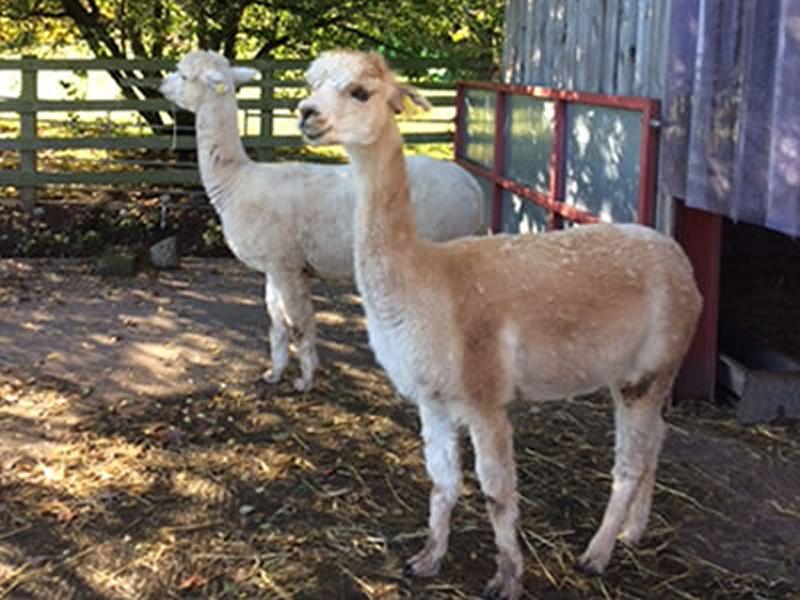 Visit Llamas