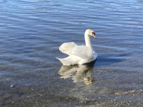 Swan on Derwentwater