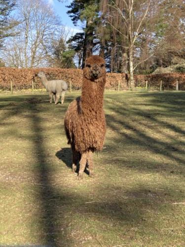 Take the Alpacas for a walk - Alpacalyeverafter